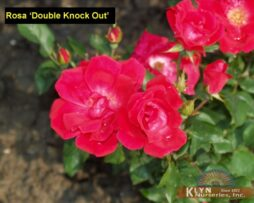 Rosa Double Knock Out 3