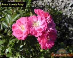 Rosa Lovely Fairy