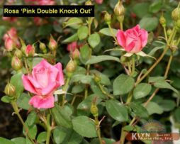 Rosa Pink Double Knock Out