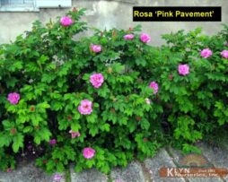 Rosa Pink Pavement