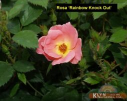 Rosa Rainbow Knock Out 2
