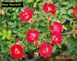 Rosa Red Drift 2
