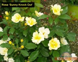 Rosa Sunny Knock Out 2