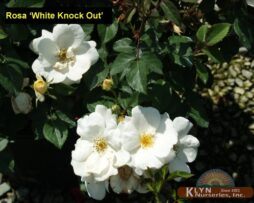 Rosa White Knock Out