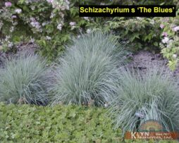 Schizachyrium s 'The Blues'