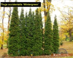 Thuja o Wintergreen