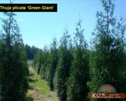 Thuja pl Green Giant