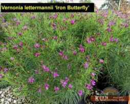 Vernonia l Iron Butterfly 2