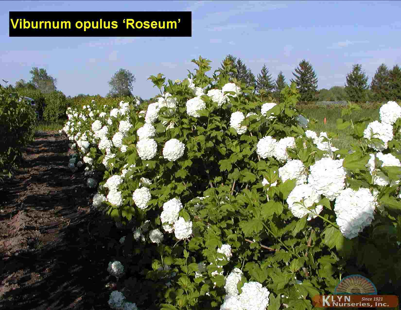 viburnum opulus 39 roseum 39 klyn nurseries inc. Black Bedroom Furniture Sets. Home Design Ideas