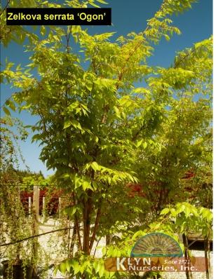 Zelkova serrata ogon klyn nurseries inc zelkova s ogon altavistaventures Gallery
