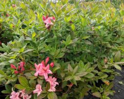 AZALEA 'Weston's Lollipop'