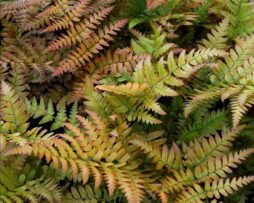 DRYOPTERIS erythrosora 'Brilliance' - Brilliance Autumn Fern