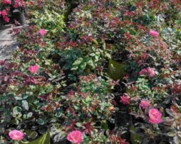 ROSA Pink Knock Out®