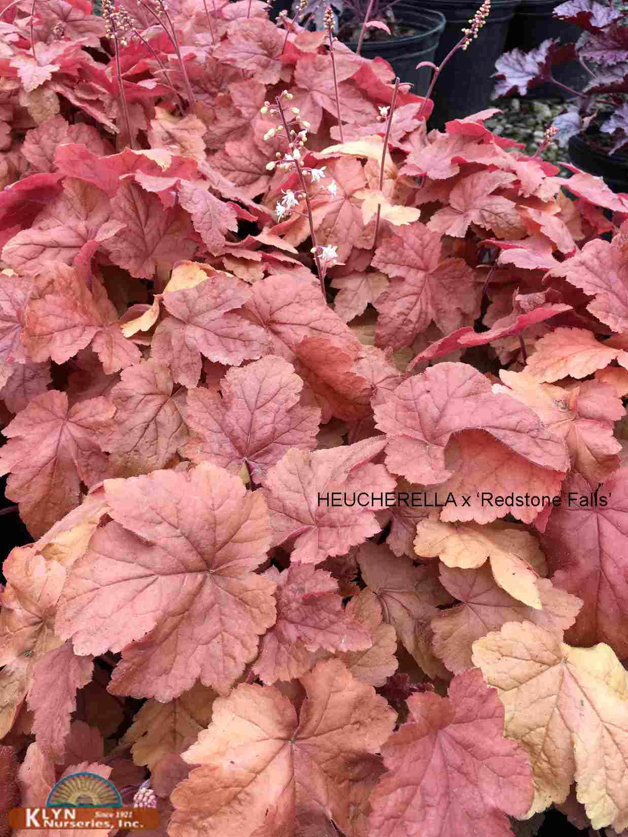 Heucherella x 'Redstone Falls' P P  22394 - Redstone Falls