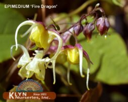 Epimedium-'Fire-Dragon'-flo
