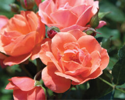 ROSA Coral Knock Out® - Coral Knock Out® Rose